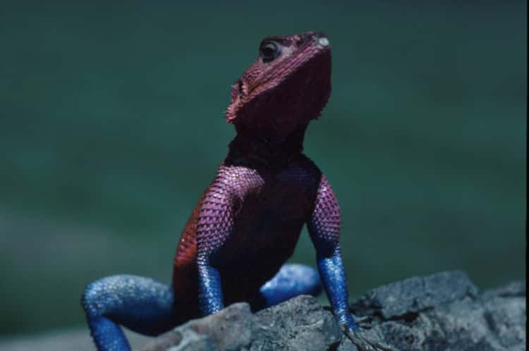 Agama lizard on a rock in the sun