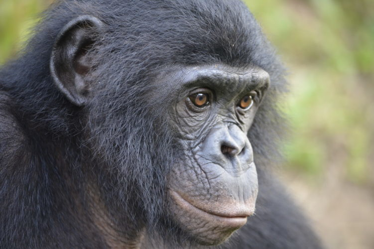 Face of a bonobo ape